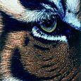 Christophe Drochon : Oeil de tigre