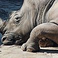 Christophe Drochon : Le rhino et le caillou